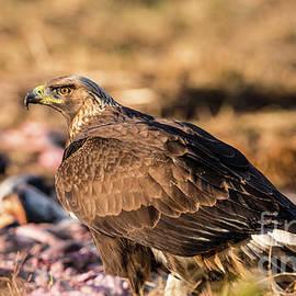 Torbjorn Swenelius - Golden Eagle