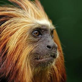 Rawshutterbug - Golden Headed Lion Tamarin Profile