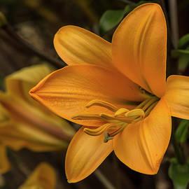 Bruce Frye - Golden Lilies