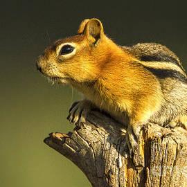 Sharon Ely - Golden Mantled Ground Squirrel