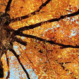 Bonfire Photography - Golden Maple Of Tosanak
