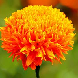 Bruce Nutting - Golden Marigold