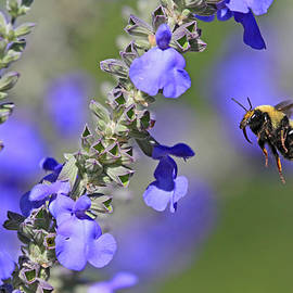 Donna Kennedy - Golden Northern Bumble