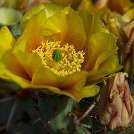 Saija  Lehtonen - Golden Prickly Pear Cactus