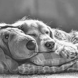 Jennie Marie Schell - Golden Retriever Dog Sleeping with my Friend Monochrome