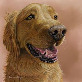 Anthony J Padgett - Golden Retriever Portrait