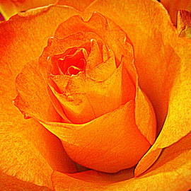 Bonita Brandt - Golden Rose