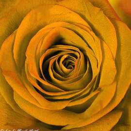 Brenda  Spittle - Golden Rose Macro