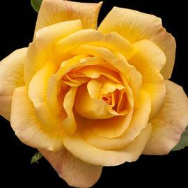 Victoria Harrington - Golden Rose on Black