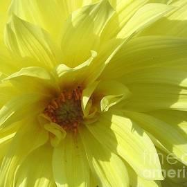 Dora Sofia Caputo Photographic Art and Design - Glowing Yellow Dahlia