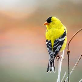 Susan Capuano - Goldfinch At Sunrise