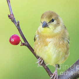 Ricky L Jones - Goldfinch in the Backyard