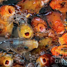 Goldfish - Amanda Elwell