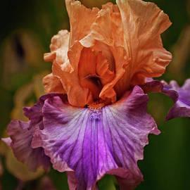 Robert Bales - Gorgeous Iris