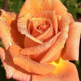 Linda Brody - Gorgeous Orange Rose Macro I