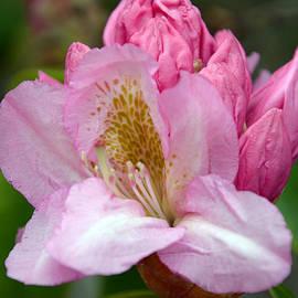 Norng Ti  - Gorgeous Pink