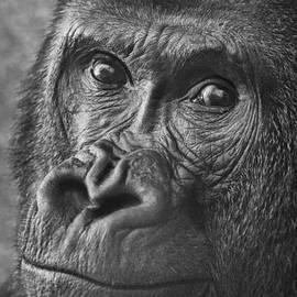 Jamie Pham - Gorilla Portrait