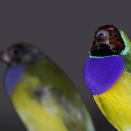 Mr Bennett Kent - Gouldian or Rainbow Finch