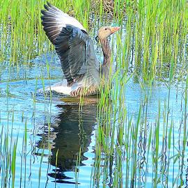 Adie Fell - Grand Spring Goose