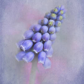 David and Carol Kelly - Grape Hyacinth