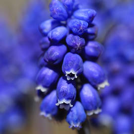 Donna Kennedy - Grape Hyacinth - Muscari