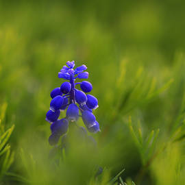 Rachel Cohen - Grape Hyacinth Mystery