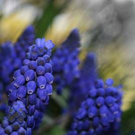 Richard Andrews - Grape Hyacinths 2