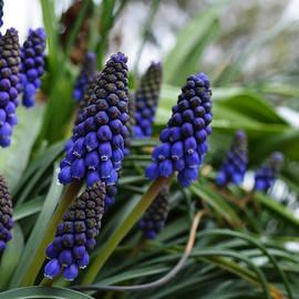 Richard Andrews - Grape Hyacinths