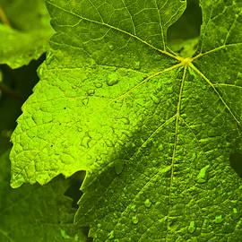 Ben Aronoff - Grape Leaf