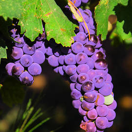 Jeff Swan - Grapes in the sun