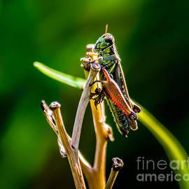 Olga Photography - Grasshopper