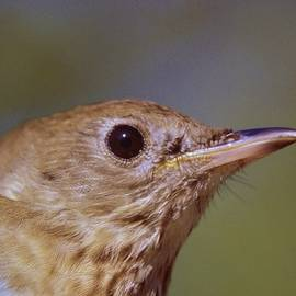 Rory Cubel - Gray Cheeked Thrush   Catharus  minimus