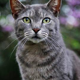 Amy Jackson - Gray Tabby Cat Portrait
