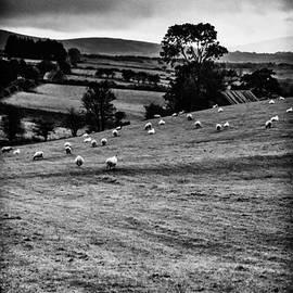 Thomas R Fletcher - Grazing Sheep