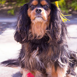 Daphne Sampson - Graduation Cavalier King Charles Spaniel