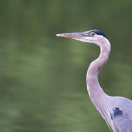 Miguel Celis - Great Blue Heron 2