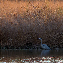 Roy Williams - Great Blue Heron and Sunlit Field