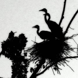 Kathy Barney - Great Blue Heron Chicks Silhouette