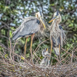 Cindi Alvarado - Great Blue Heron Family