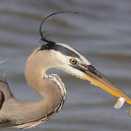 Robert Frederick - Great Blue Heron Gets TwoFer