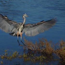 Ernie Echols - Great Blue Heron Landing