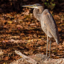 Morris Finkelstein - Great Blue Heron Perched on a Branch in Autumn