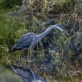 Great Blue Heron Stalking Breakfast
