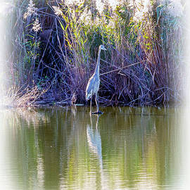 Brian Wallace - Great Blue Heron Standing Tall