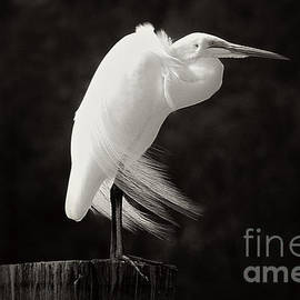 Vickie Emms - Great Egret Black and White
