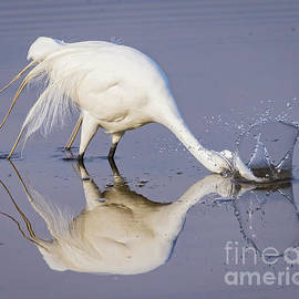 Bill And Deb Hayes - Great Egret Dipping For Food