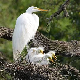 Richard Bryce and Family - Great Egret Family