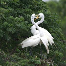 Roy Williams - Great Egret Love Birds