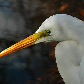 Juergen Roth - Great Egret Portrait