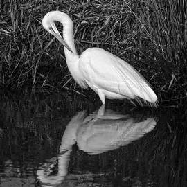 Wes and Dotty Weber - Great Egret Preening D0198
